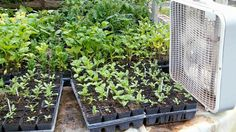 Turn the fan on for an hour on your seedlings to prevent them from becoming leggy! How to Prevent Leggy Seedlings -Secret of Seeds Series Grow Lamps, Large Pots, Potting Soil, Garden Seeds, Seed Starting, Organic Gardening, Flora, Goodies, Rooms