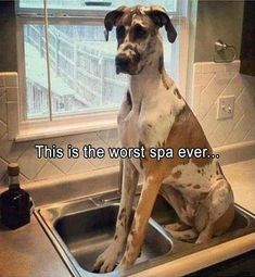 Funny Animal Pictures Of The Day - 20 images - Death To Boredom Cute Funny Animals, Funny Animal Pictures, Funny Cute, Funny Dogs, Hilarious, Animal Antics, Animal Memes, Great Dane Dogs, I Love Dogs