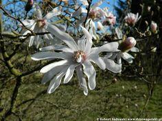 Magnolia gwiaździsta - Magnolia stellata