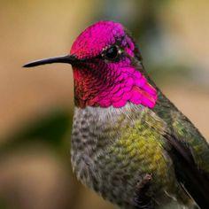 kaprazatosan-szines-kolibrik-017