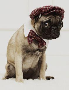 Sharp dressed pug.