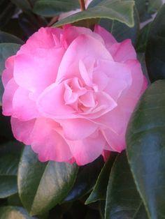 Pink Camilia .......