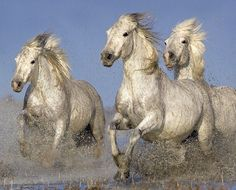 Camargue horses. Photo by Austin Thomas