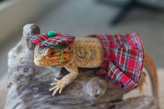 This is Pringle - a bearded dragon from Melbourne, Australia. Pringle loves to be in front of the camera! He's a natural model and you can see him posing with all kind of props without any problems.