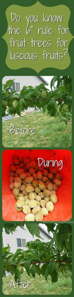 6 Inch Fruit Tree Thinning Rule To Grow Luscious, Juicy Fruits