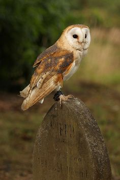 Barn owl on gravestone by tom.wright, via Flickr