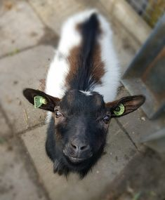 Cuty-pie little goat @petting zoo Bodegraven!😻