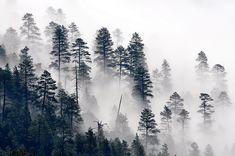 more trees in the mist:  Arizona