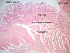 stomach histology labeled - muscularis mucosae
