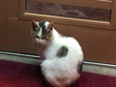目があまりにつり上り過ぎてたのど…   写真を撮ろうとしたら、うつむいてしまいましたが。夕方、飲み屋さんの前。 よく見ると左右の端には各自のお皿のエサを夢中になって食べてる猫たち。 きっと、ドアの前のこの猫は、帰宅が遅れてエサをもらえてなかったのでしょう。