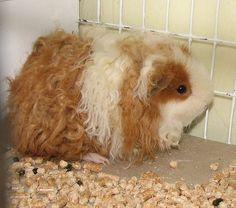 Texel guinea pigs
