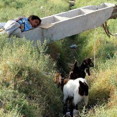 An Afghan Child taking a nap and enjoying the world under the morning sunlight with his two goats. Afghanistan Culture, Take A Nap, Sunlight, Goats, Child, Boys, Kid, Nikko, Children