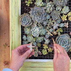 Mur végétal avec plantes grasses