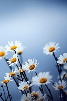 640-white-daisies-flowers-l