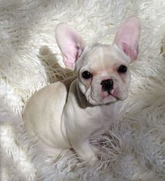 French Bulldog Puppies for Sale Pixie 3 .