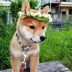 shiba inu with flower crown !!