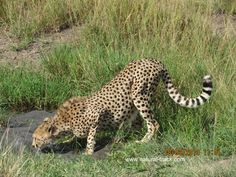 A cheetah stop to quench its thirst on a hot afternoon. http://www.natural-track.com/