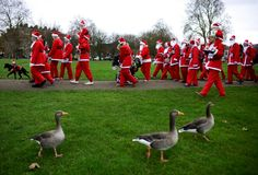 (REUTERS/Dylan Martinez) / Ducks walk past runners clad in Santa suits taking part in a charity event in London, England, on December 6, 2015.