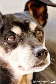 Meet Hank the cute little blend of mini-Rottie, Jack Russell Terrier. He's a sweet senior dog ready for adoption! Beautiful Creatures, Animals Beautiful, Animal Shelter, Animal Rescue, Dog Anatomy, Pet Boutique, Cute Animal Photos, Animal Projects, Jack Russell Terrier