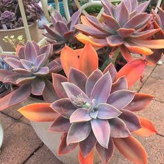 Graptoveria Fred Ives, Echeveria Fred Ives by RarePlantDriftwood on Etsy Vintage Gardening, Vintage Garden Decor, Organic Gardening, Home Garden Plants, House Plants, Echeveria, Cacti And Succulents, Planting Succulents, Growing Succulents