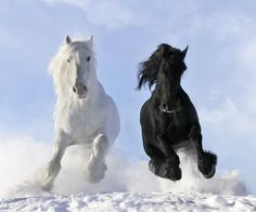 Black friesian stallion & white shire horse.