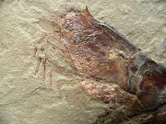 Museum Fossil Shrimp Aenigmacaris Aenigmacaris cornigerum Subphylum Crustacea, Class Malacostraca, Order Cardoida, Family Aenigmacaridae Geological Time: Mississippian (~320 m.y.a.) Size: Shrimp fossil is 128 mm long Fossil Site: Heath Shale Formation, Bear Gulch Limestone, Fergus County, Montana