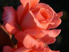 Hamburg Girl rose: Hybrid Tea rose: Orange rose   Palatine Roses