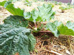Cabbage, Vegetables, Plants, Vegetable Recipes, Flora, Cabbages, Plant, Collard Greens, Planting