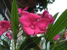 oleander in de tuin Plants, Plant, Planting, Planets