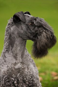 Kerry Blue Terrier | via Apula