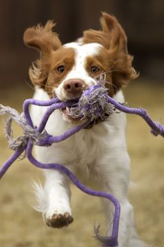 "Visit our web site for additional relevant information on ""spaniel dogs"". It is an outstanding place to learn more. Best Medium Sized Dogs, Medium Sized Dogs Breeds, Medium Dogs, Cocker Spaniel, Spaniel Puppies, Hound Puppies, Smartest Dog Breeds, Dog Breeds List, Havanese Dogs"