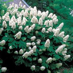 snow queen oak leaf hydrangea image | Snow Queen Hydrangea quercifolia Shrub...this is on the side of the ...