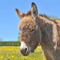 Picture of donkey in buttercup field