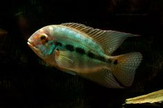 Hoplarchus psittacus. HECKEL, 1840. Common Name: Parrot Cichlid