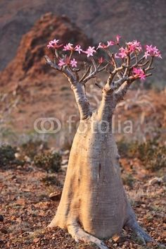 Bottle tree - Desert Rose - adenium obesum – endemic tree of Socotra Island
