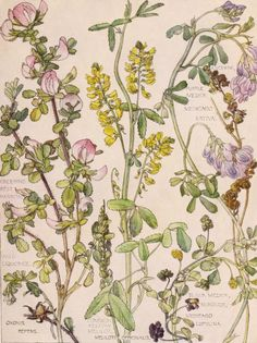 """english-idylls: """" From Wild Flowers of the British Isles by H. Isabel Adams (1907). """""""