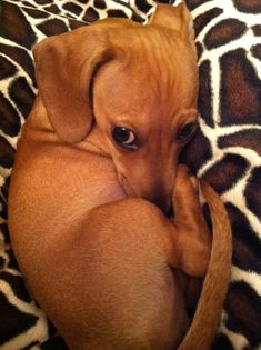 Curled up baby dachshund, adorable Cute Puppies, Cute Dogs, Dogs And Puppies, Baby Animals, Funny Animals, Cute Animals, Puppy Pictures, Animal Pictures, Weenie Dogs