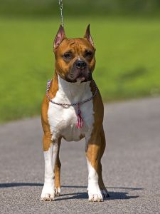 Show winner beautiful Amstaff dog.
