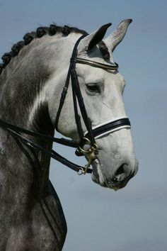 Dressage Horse with a Gray dapple coat color