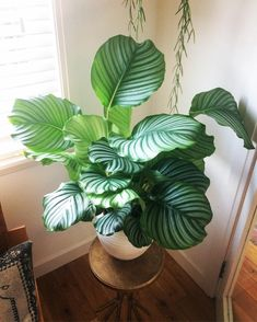 Indoor plants that grow quickly: Calathea - Urban jungle . You are in the right place about Plants All Plants, Potted Plants, Garden Plants, Tomato Plants, Foliage Plants, House Plants Decor, Plant Decor, Ficus, Cottage Gardens