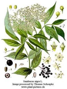 Sambuco  NOME SCIENTIFICO:  Sambucus nigra