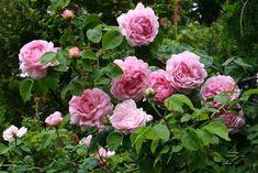 Mit ihren bogig überhängenden Trieben und riesigen rosa Ballonblüten verleiht die Englische Rose Constance Spry dem Garten einen bezaubernde...