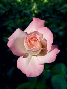 Pretty Roses, Pretty Green, Beautiful Roses, Unusual Flowers, Love Flowers, Wars Of The Roses, Love Rose, Pink Aesthetic, Garden Plants