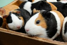 Guinea Pigs I will take them all.