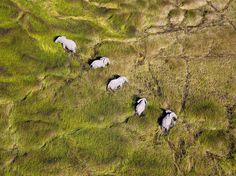 A herd of elephants makes its way through Botswana's Okavango Delta. These animals move through the shallow waters of the delta easily, leaving behind water channels which, seen from the air, form a large mosaic of green mazes-Gaston Piccinetti. Elephant Images, Elephant Love, Elephant Art, Elephant Gifts, National Geographic Society, National Geographic Photos, Photography Photos, Wildlife Photography, Landscape Photography