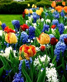 Spring color, if going with high contrast: Orange parrot tulips, blue & white hyacinths, Keukenhof Gardens, The Netherlands. Jardin Decor, Parrot Tulips, Spring Bulbs, My Secret Garden, Flower Beds, Dream Garden, Spring Flowers, Garden Inspiration, Container Gardening