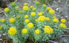 Did you know Rhodiola Rosea contains powerful #antioxidants to protect the body from free radicals??  #Hanna #herb