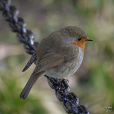 A robin - at last! | Flickr - Photo Sharing!