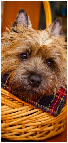 Cleo the Cairn Terrier (Toto Dog) by Dmitry Samsonov Little Dogs, Big Dogs, I Love Dogs, Norwich Terrier, Cairn Terriers, Terrier Puppies, West Highland Terrier, Cairns, Cute Puppies