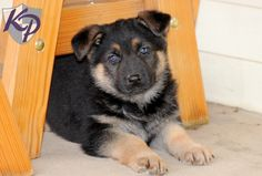 Puppy Finder Find Buy A Dog Today By Using Our Petfinder German